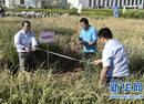 """我国""""海水稻""""试种成功 数亿亩盐碱地有望成粮仓"""
