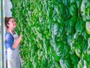 室内农业运作模式不靠谱?硅谷这家公司却证明了它的可行性
