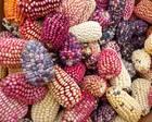 """科研玉米被偷摘:被默许的""""毛贼偷""""是一种乡土病"""