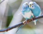 严歌苓短篇小说《青柠檬色的鸟》