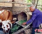 山西七旬老人养牛脱贫 用坚强意志撑起一个家