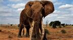 研究:如果没有象牙贸易,非洲大象能拥有大量的栖息地