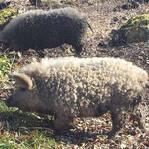 """英丛林惊现""""披着羊皮的猪"""" 外形可爱性格温顺"""