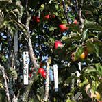 一神树结250种苹果