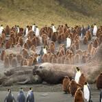 摄影师偷拍南象海豹交配 四吨重大胖压趴