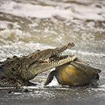 巨鳄捕食咬住海龟头
