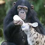 黑猩猩偷2月男婴