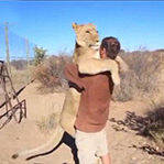 狮子扑人怀中欲撒娇