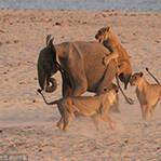 小象勇战14头母狮