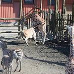 羚羊不慎刺死长颈鹿
