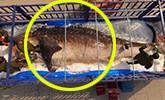 10吨鲸鲨遗体成博物馆镇馆之宝