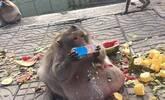 这只野生猴子因太胖被抓起来强制减肥(图)