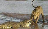 鳄鱼偷袭河边喝水狮子上岸后后悔了