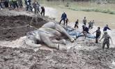 实拍大象坠河 村民花15小时将其拉上岸