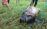 鄱阳湖今年第15头死亡江豚被发现,全身无伤腐烂严重
