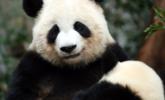 大熊猫文莉被宝宝缠上了|组图