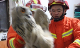 墙缝卡了只胖猫头鹰 多名消防解救