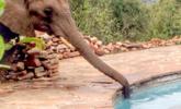 大象路过私人泳池 公然偷水喝