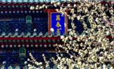 北京景山公园春花绽放