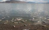 香格里拉纳帕海现大量死鱼