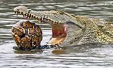 鳄鱼活吞整只海龟
