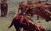鬣狗偷吃幼狮被抓 惨遭狮群吞食