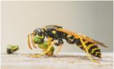 世界上最危险的蜜蜂,已经螫死了1000多人