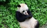 """大熊猫怀抱""""犀牛""""爱不释手 似当成自己孩子"""
