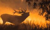 英国牡鹿晨雾中嘶叫|组图