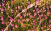 大理2000亩冬樱花盛开