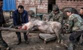 重庆奉节年猪出栏