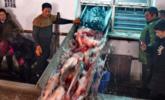 吉林冬捕:一网捞出10万斤鱼