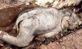 小象跌落到人类引水渠致重伤