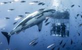 6米长大白鲨靠近研究员一幕
