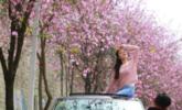 广西26万株紫荆花盛开