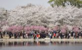 北京樱花盛开