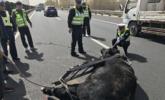 公牛跌落在青岛高速 发狂见人就撞