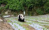 汶川大熊猫进村蹭吃蹭喝逗乐村民