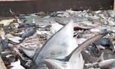 美国渔夫放生1.8米大白鲨 网友大赞