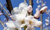 武汉石观音寺樱花盛:花期如约至