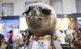 这是有史以来最重的猪