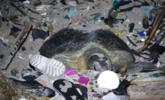 海滩铺满垃圾 海龟母亲拨开垃圾产卵