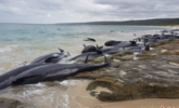 超150头领航鲸搁浅澳大利亚海滩