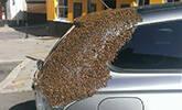 蜂后被困车内 2万蜜蜂围攻汽车