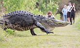 人行小道上现巨型鳄鱼
