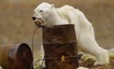北极熊肌肉萎缩暴瘦 在垃圾桶翻捡食物