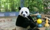 萌力四射!??谶@兩只憨憨的熊貓7歲啦