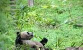 国宝大熊猫明日启程赴豫 探访今天他们是怎样度过的?