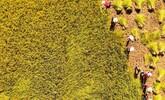 金秋十月江西吉州遍地金黃 果實累累谷滿倉