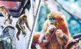 武汉动物园独苗金丝猴有了伴